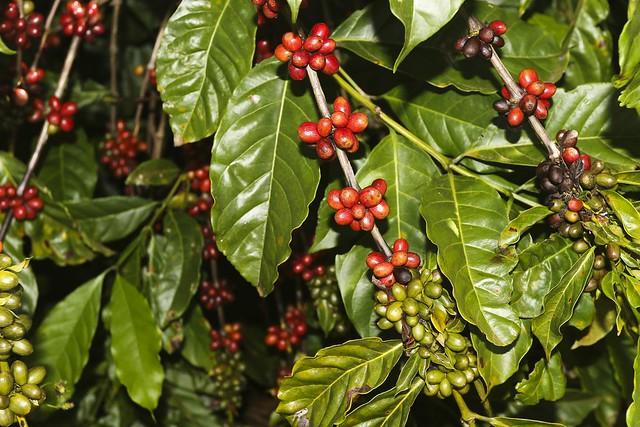 Café produzido pela Embrapa no Cerrado busca sustentabilidade com o recurso eficaz de água - Créditos: Valter Campanato/Agência Brasil